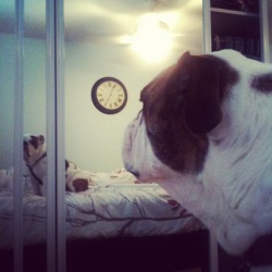 The bulldog in the mirror.