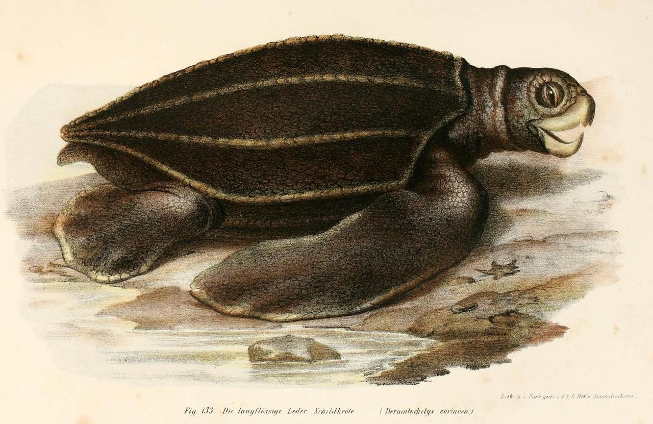 biomedicalephemera:  Dermochelys coriacea - Leatherback Sea Turtle The leatherback sea turtle is the only sea turtle to not have a bony shell. Instead, it has a leathery carapace, with a thick and oily skin covering it. It is also the most hydrodynamic reptile in existence, with the unique carapace playing a key role in that distinction. Adult leatherbacks have been clocked swimming at nearly 27 mph. Bilder-atlas zur wissenschaftlich popularen. Leopold Fitzinger, 1867.
