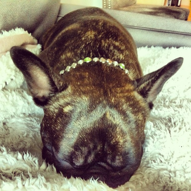 "iamcompletelynormal:  What I like to call the ""Frenchie-sausage nap"" position (Taken with Instagram)"