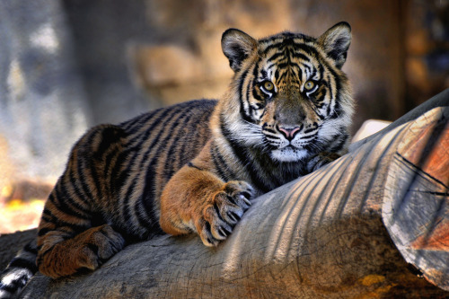 animals-of-the-world:  Tiger (by Hpy2bsal)