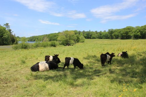 Belted Galloway calves enjoying the shade at Aldermere farm, Rockport, Maine.