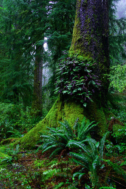 chasingthegreenfaerie:  Ferns on old growth tree, Oswald West State Park, Oregon by USFWS Pacific on Flickr.