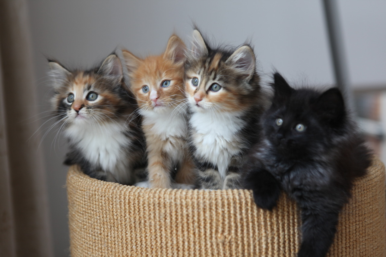If left unspayed and unneutered, one pair of cats and their kittens could produce as many as 420,000 kittens in 7 years time. That is an average of 60,000 kittens per year!