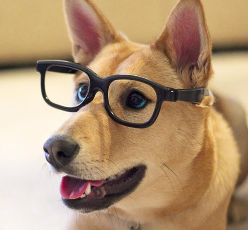 "Hipster Dog Liked Bacon Before it Was Mainstream Offer some crispy bacon to Riley the Shiba and she'll turn up her nose. It's not that she doesn't want it. She just can't be seen eating it. ""Riley loved bacon back when it was independent,"" says Darryl Bohnert, a close friend. ""It was just a farmer and his pigs, man. Free range. But then everyone started liking bacon, and it got all corporate, and it ditched its drummer. Now it's just uncool, man. Riley's moved on."" Via Marley's Mutts."