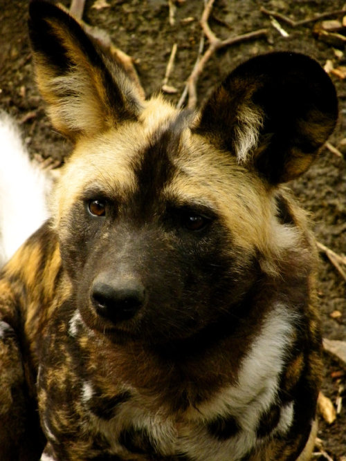 African wild dog puppy confused by the sound of a little kid's annoying whistle at the Brookfield Zoo. Also, further evidence that Castiel is a puppy.