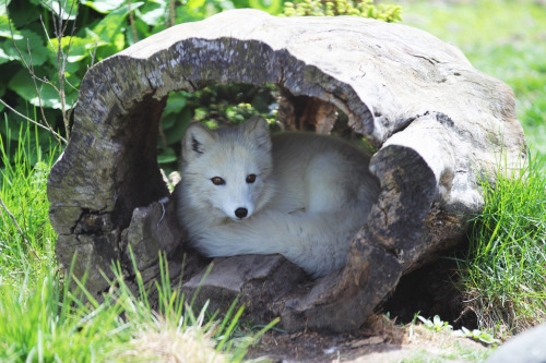 foxograph:  Arctic Fox (by C-Turtle)