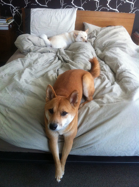 fyeahshibainu:  (via Whose Bed?)