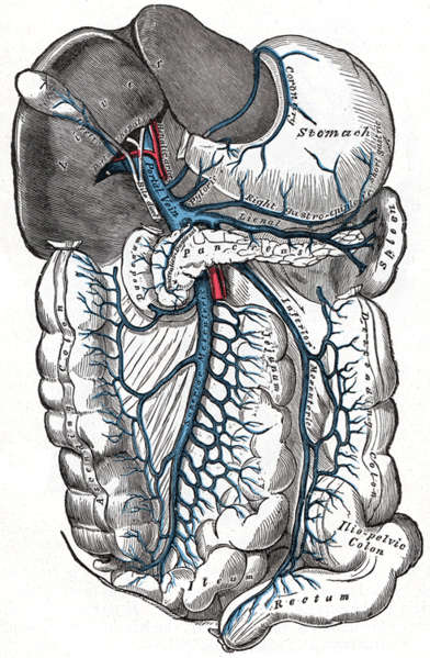 theanatomicaltheatre:  The Hepatic Portal Vein.
