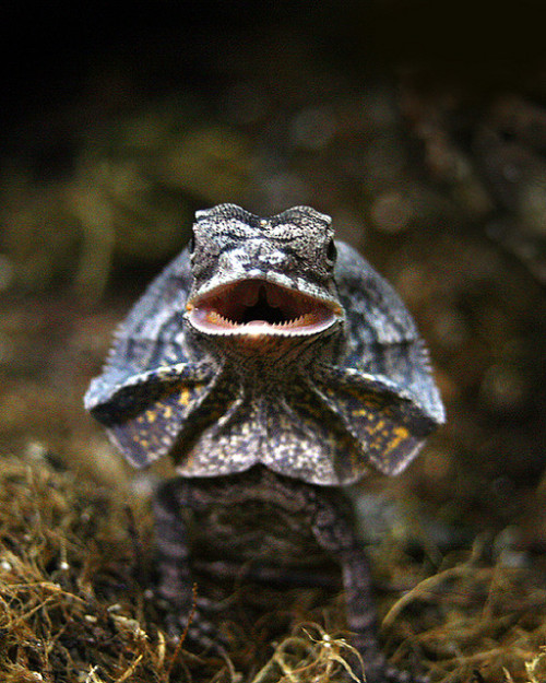 reptiglo:  I'm just FRILLED. by phrenophile on Flickr.