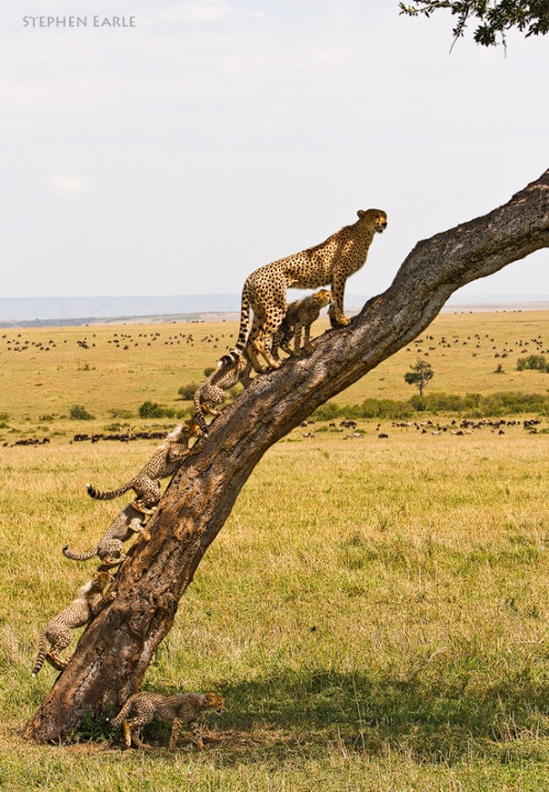 Cheetah Tree by Stephen Earle .Wow,look how many:)