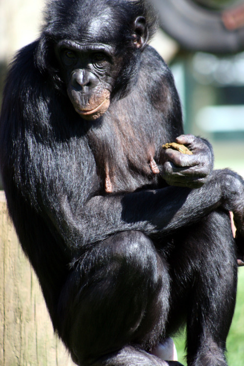 teenysidhe:  Diatou - Female Bonobo (by Amanda J M)