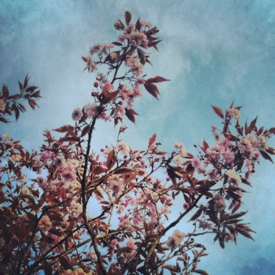 Summer #summer #sky #cherry #garden #buds #natural #delicate #lovely #pink #babypink #flower #flowers #petals #tree #cherry #cherrytree #cherryblossom #beautiful #natural #nature #wildlife  (Taken with Instagram)