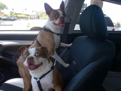 Boston Terrier ROAD TRIP with Poops and Frank