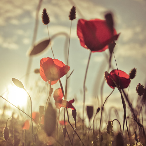 spoony:  Poppies romance (via Lomoody)