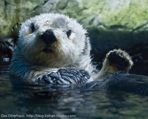 dailyotter:  Otter Is a Little Surprised to See You Via Das Otterhaus