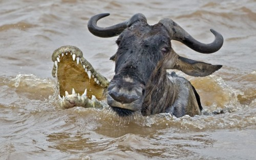 A crocodile fails to catch a wildebeest, Masai Mara, Kenya.  Picture: Andy Rouse / Rex Features