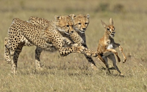 Cheetah adolescents chase a Thomson gazelle fawn, Masai Mara, Africa.  Picture: Andy Rouse / Rex Features