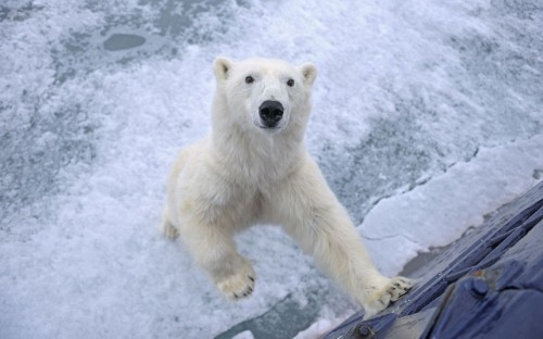 A polar bear stands up against a tourist ship on Svalbard in the Arctic Sea.  Picture: Andy Rouse / Rex Features