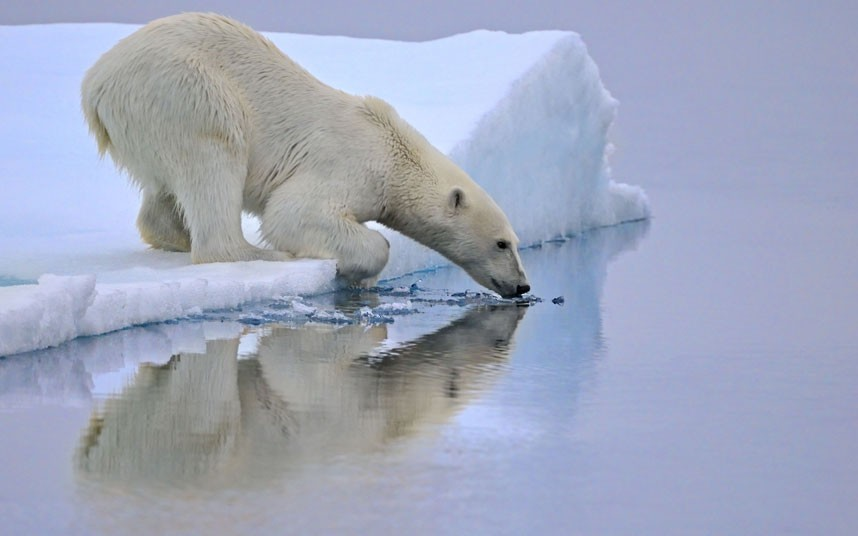 theanimalblog:  A polar bear in Svalbard, Norway.  Picture: Andy Rouse / Rex Features