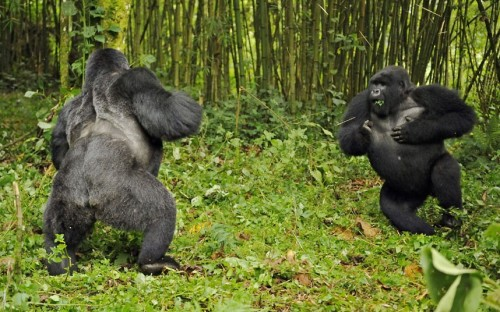 theanimalblog:  A silverback and blackback gorilla fight in the Virunga National Park.  Picture: Andy Rouse / Rex Features
