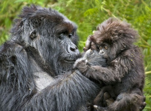 pricklylegs:  theanimalblog:  A mountain gorilla mother cares for its young in the Virunga National Park, Rwanda.  Picture: Andy Rouse / Rex Features  That hair…