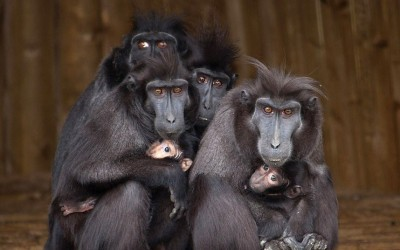 Sulawesi crested macaque mothers cradle their babies at Dudley Zoo, West Midlands. The species, which is classified as critically endangered, is also known as the Celebes crested macaque or black ape, and originates from the northeast of the Indonesian island of Sulawesi.  Picture: Dudley Zoo / Rex Features