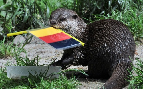 An otter - confusingly named Ferret - predicts Germany will beat the Netherlands in their Euro 2012 football match, at the zoo in Aue, eastern GermanyPicture: HENDRIK SCHMIDT/AFP/GettyImages