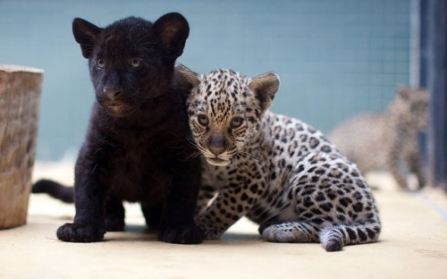 Three jaguar cubs are seen at the zoo in Berlin. One of the cubs is black, while its two siblings have the more typical pale coats with black markings.Picture: EPA/KAY NIETFELD