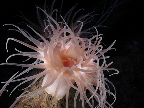 Gulf of Mexico Anemone Photo: Expedition to the Deep Slope 2007, NOAA-OE.