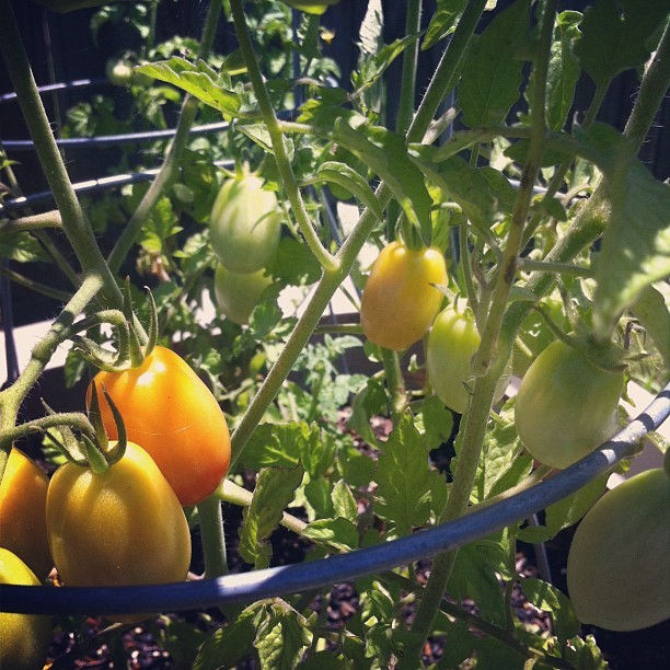 Yes! Yes! Yes! Tomatoes are turning red! #garden #julietroma #tomato (Taken with Instagram)