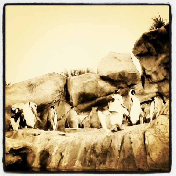 #stlouis #zoo #penguins  (Taken with Instagram)