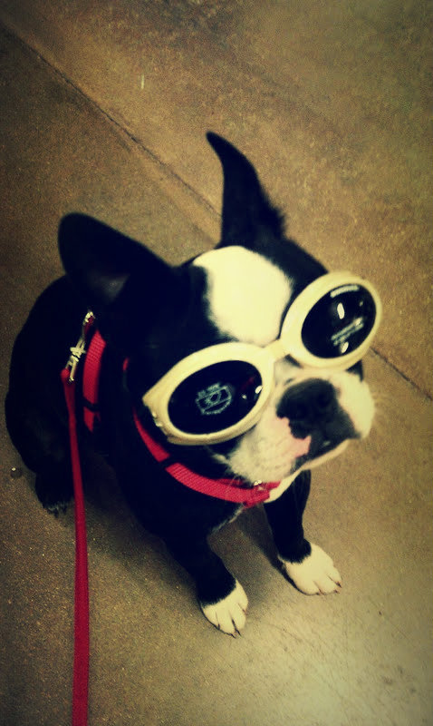 fuckyeahbostonterriers:  Lou is too cool for school