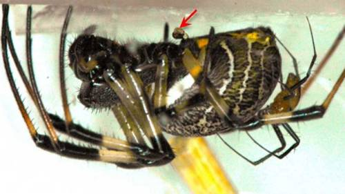 Male Spiders Castrate Themselves to Fight Better Castrated males are better fighters because they are not weighed down by their manhood. keep reading Images: Nephilengys malabarensis male and female showing extreme sexual dimorphism where the much smaller male is resting on the female's abdomen after escaping from female cannibalism via emasculation during copulation. Credit: Qi Qi Lee