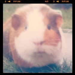 guinea pig (Taken with Instagram)