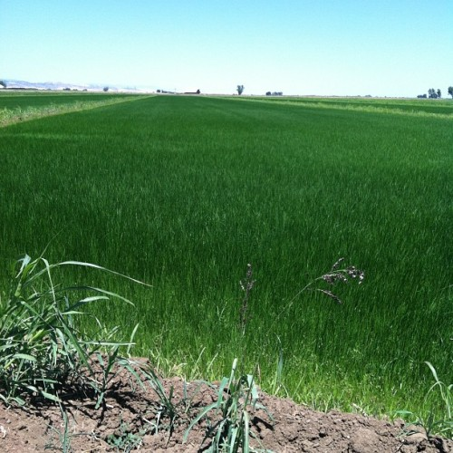 Rice country - colusa county (Taken with Instagram)