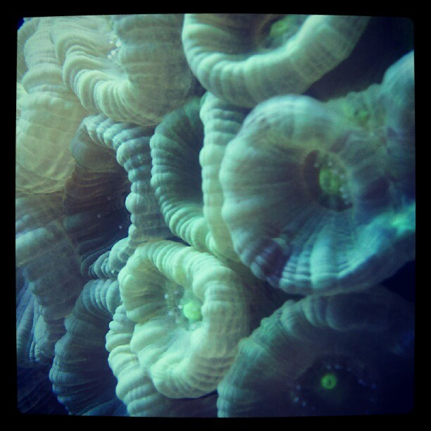 Trumpet corals #ReefTank  (Taken with Instagram)