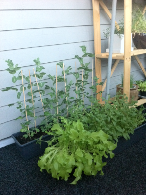 A garden update 1/3: Spinach, spinach everywhere! And that rucola needs to be placed on my dinner plate, before it runs all out of space.