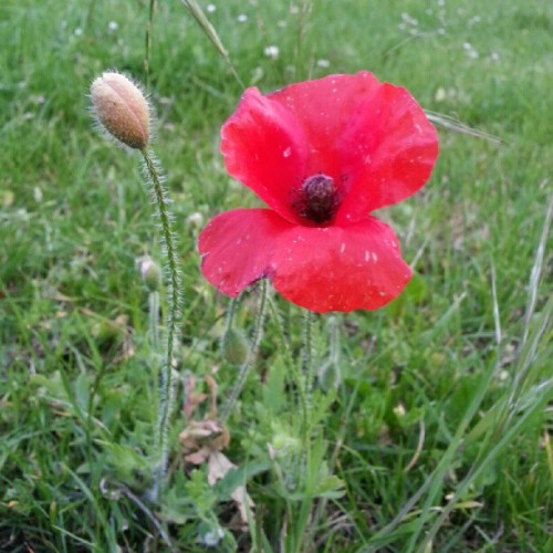 First one I've found near me #poppy #nature #green #flowers #red  (Taken with Instagram)