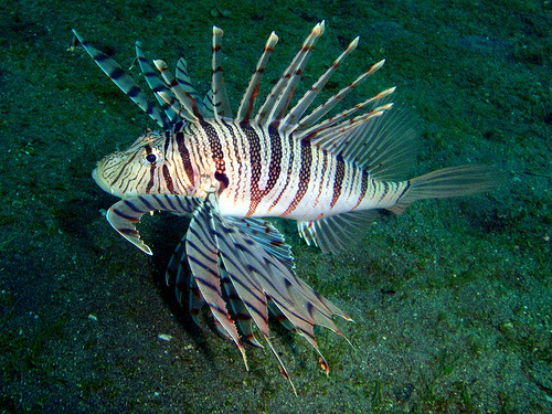 fyeah-seacreatures:  Lionfish. (Nemo's great uncle)  Quite dangerous but very tasty