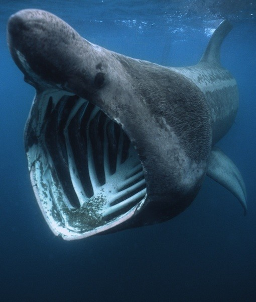 wnycradiolab:  funkysafari:  BASKING SHARK  Fun Facts: After the whale shark, the basking shark is the second largest living fish, and can grow up to 32 feet long. These sharks are often mistaken for plesiosaurs, a group of long-necked, predatory marine reptiles that lived at the time of the dinosaurs.  Holy crap.