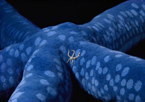animals-animals-animals:  Brittle Star Traveling Across a Blue Linckia Sea Star (by Birgitte Wilms)