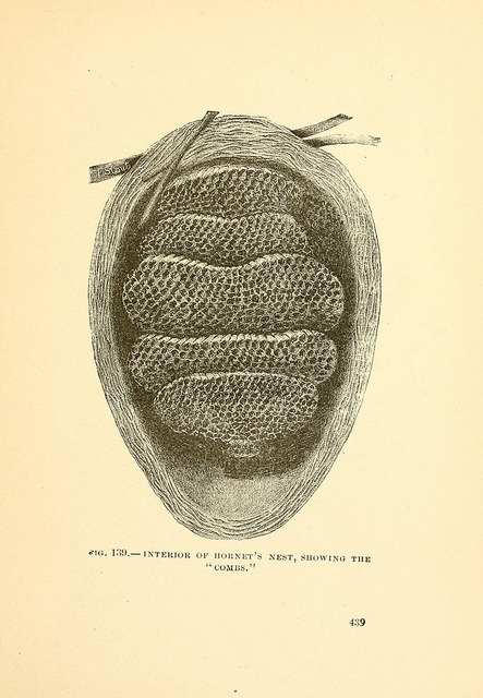 scientificillustration:  Interior of Hornet's nest by BioDivLibrary on Flickr. Tenants of an old farm;.New York,Fords, Howard & Hulbert,1885 [1884].biodiversitylibrary.org/page/8185316