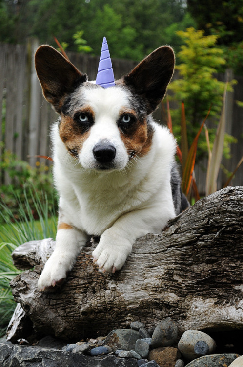 (via simonsaysbark):  Unicorgi. ;)  This corgi looks pretty pleased with himself. (via corgiaddict)