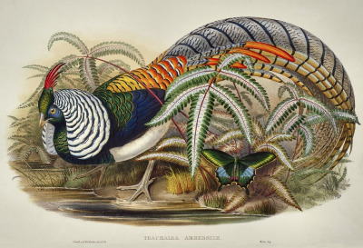 Thaumalia amherstiae [now Chrysolophus amherstiae] - Lady Amherst's Pheasant Despite the flashy appearance and elegant tail that look like they would stick out anywhere, Lady Amherst's Pheasant does a remarkably good job at blending in with the underbrush of its native rainforest habitat, in Myanmar and China. Though not endangered, they are rarely seen in the wild. Birds of Asia. John Gould, 1850-86.