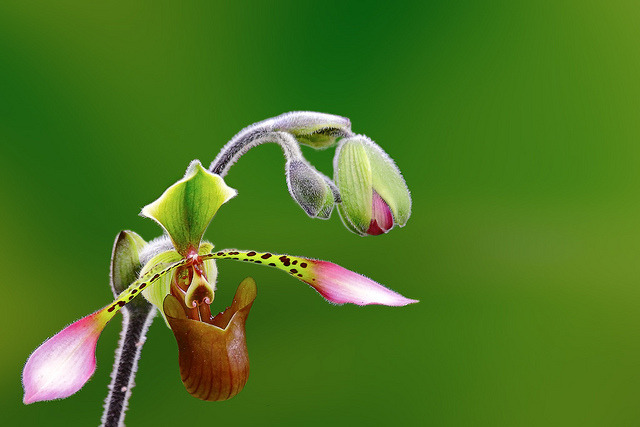 sun-stones:  Lady's Slipper Orchid by tropicaLiving - Jessy Eykendorp on Flickr.