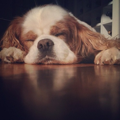 aplacetolovedogs:  So sleepy… ::: From @ajteale ::: #ig #sleepy #kingcharlesspaniel (Taken with Instagram)
