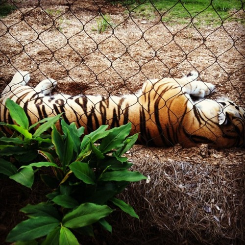 Mike the tiger #napping! #lsu!💜💛 (Taken with Instagram)