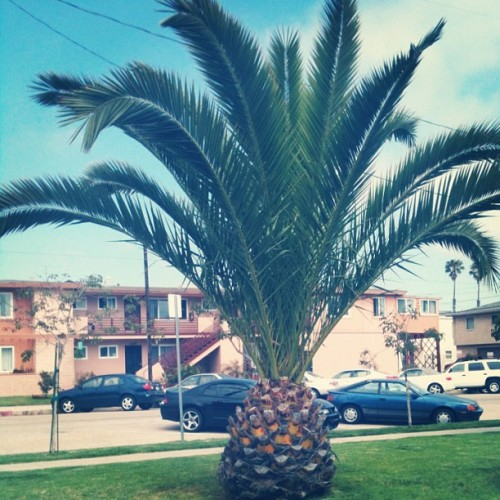 Who lives in a pineapple under the tree? (Taken with Instagram)