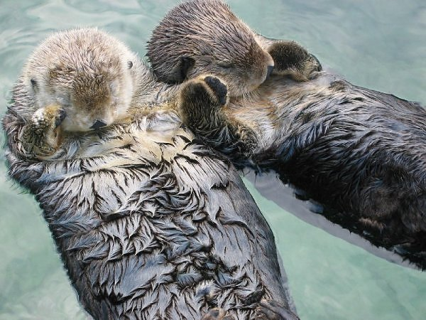 Sea otters hold hands while sleeping in order to keep from drifting apart. (Image via Environmental Graffiti)