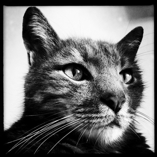 My johnny again:) #bw #gf_daily #gang_family #instagood #iphonesia #igers #petstagram #catstagram #pets #pet #cats #cat #jj #fillsmyheartwithhappiness #beauty #igaddict #statigram #followgram #animals (Taken with Instagram)
